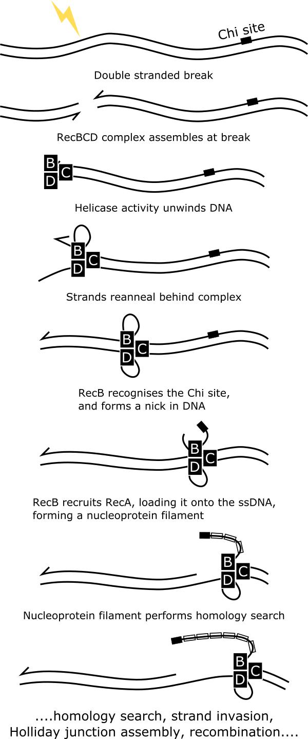 Cartoon schematic of the RecBCD pathway